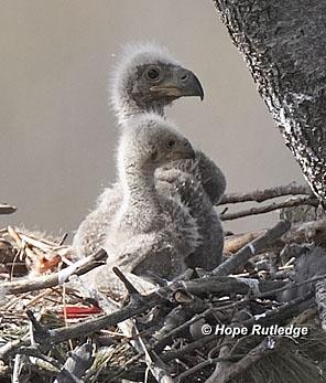 American Bald Eagle Information  Bald Eagle - Nesting & Young