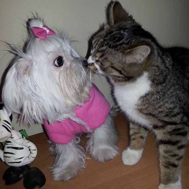Resultado de imagen para maltese dog, hugging a cat