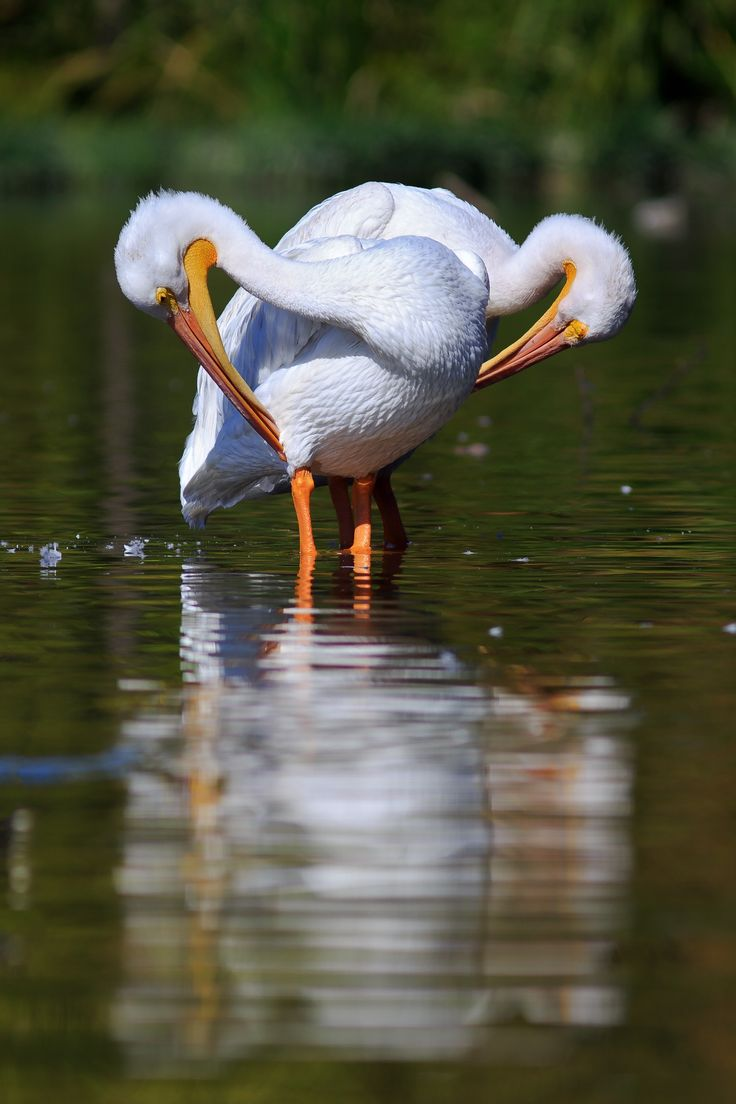 American white pelicans