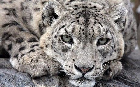 Snow Leopard: One of the most elusive of the endangered cats, with 4,200 - 6,600 spread over 770, 000 square miles across 12 countries, their natural habitat is at an altitude of 9,000 -13,500 ft. via telegraph.co.uk. Image by Rex #Snow_leopard
