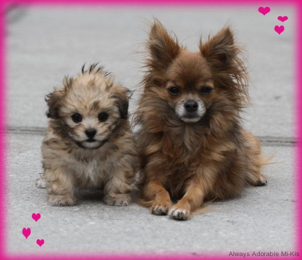 Sires And Dams Toy Dog Breeds Dog Breeds Dogs
