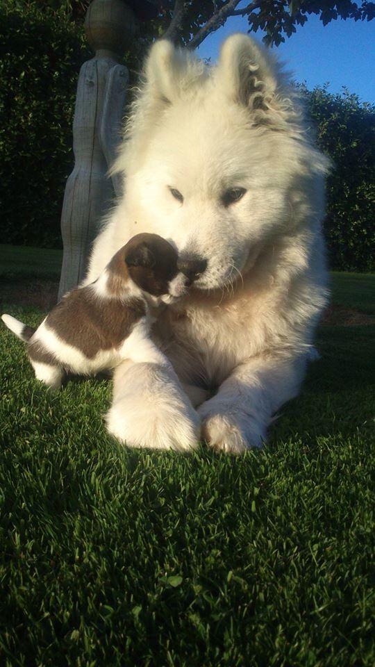 Cool Samoyed Chubby Adorable Dog - b57c9e739968edd5eccaca9639db7a70--samoyed-dogs-white-dogs  Picture_271345  .jpg