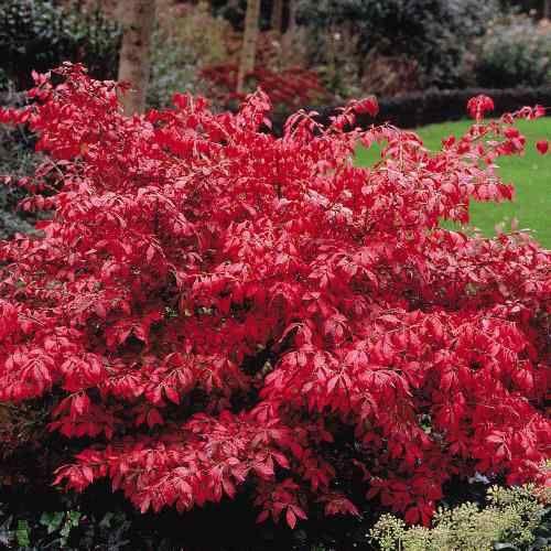 Euonymus alatus 'Compactus' - Compact Burning Bush (fall foliage)