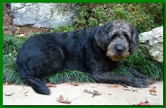 Image result for black labradoodle clipping