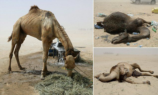 Qatari camels die after being kicked off farms in Saudi Arabia