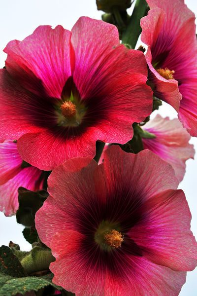 Thousands Of Plant Pictures, Flowers, Herbs, Medicinal Plants, Landscaping  Plants Mallow Flower