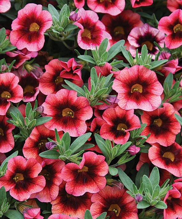 41 best images about calibrachoa on pinterest deadheading container plants and yellow. Black Bedroom Furniture Sets. Home Design Ideas