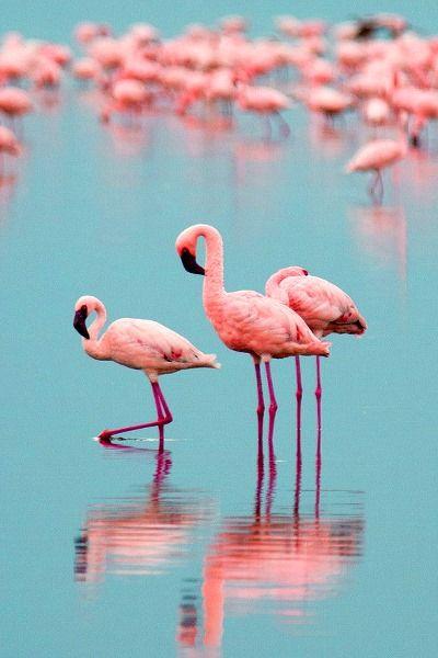 Pink Flamingos on Blue Background.