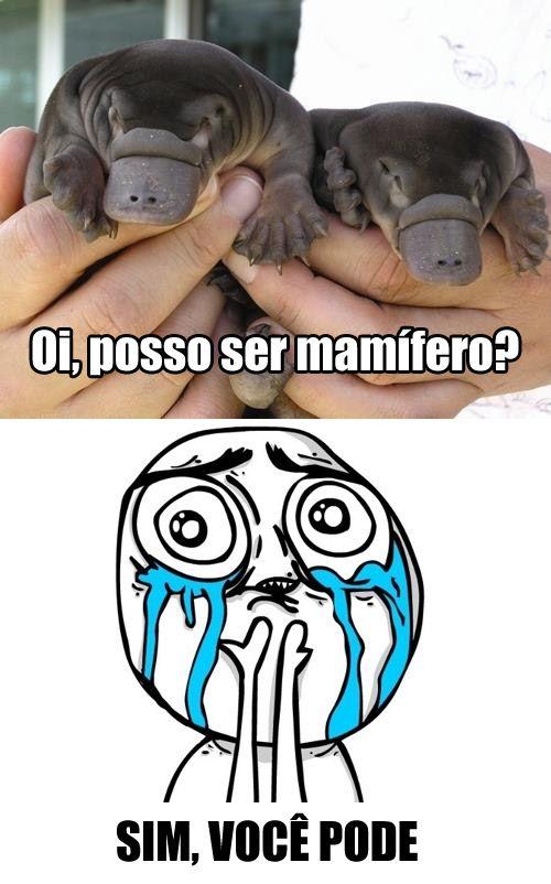Ornitorrincos / Platypus