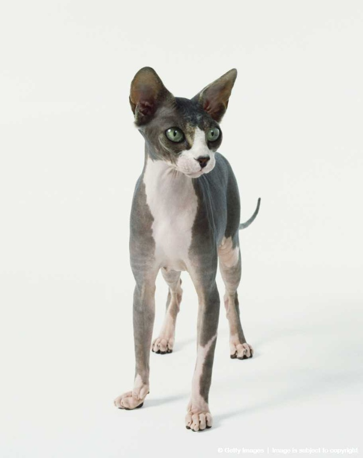 Image detail for -Standing Sphynx Cat (Felis silvestris catus) with short white and grey coat, large green eyes and large pointy ears, front view.
