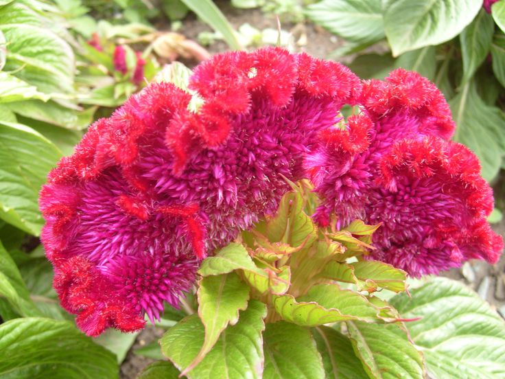 43 best Celosia images on Pinterest Beautiful flowers Flower beds