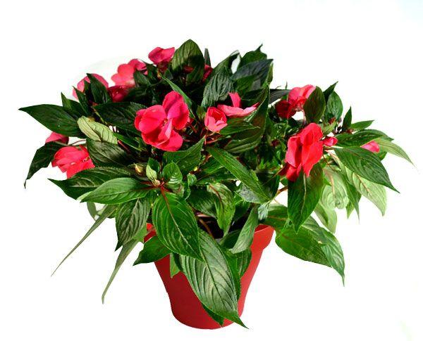 impatience rose avec cache pot rouge plantes d 39 int rieur. Black Bedroom Furniture Sets. Home Design Ideas