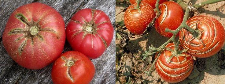 Huerto ecológico: ¿Por qué se agrietan o rajan los tomates? Causas y soluciones   #Huerto urbano - Huerto ecológico ecoagricultor.com