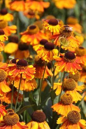 Helenium 'Sahin's Early Flowerer' - Zonnekruid