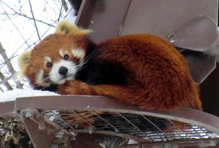 Oh my word. Red panda ; Asahiyama-Zoo, Asahikawa, Hokkaido, Japan
