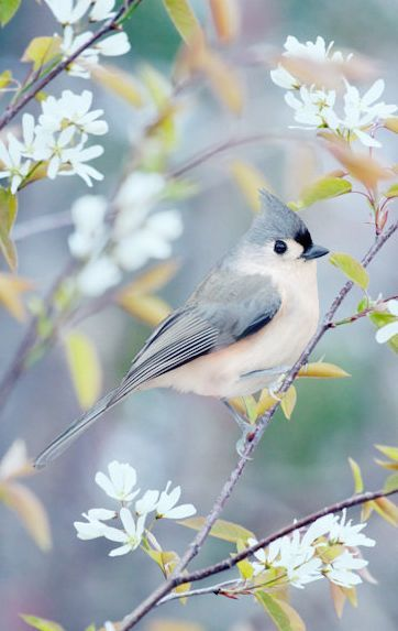 """Tufted Titmouse in Spring"" by Allison Trentelman:"