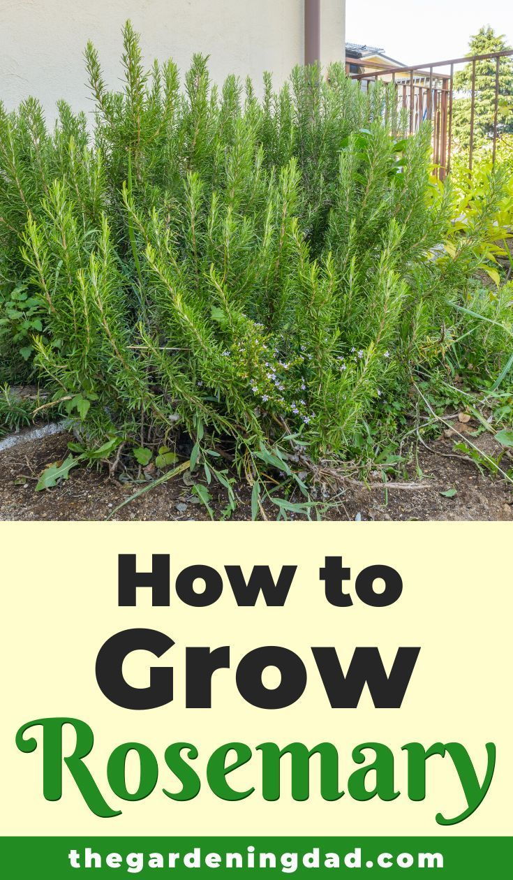 How To Grow Rosemary From Seed In 5 Easy Steps The Gardening Dad In 2020 Growing Rosemary Rosemary Plant Rosemary Garden