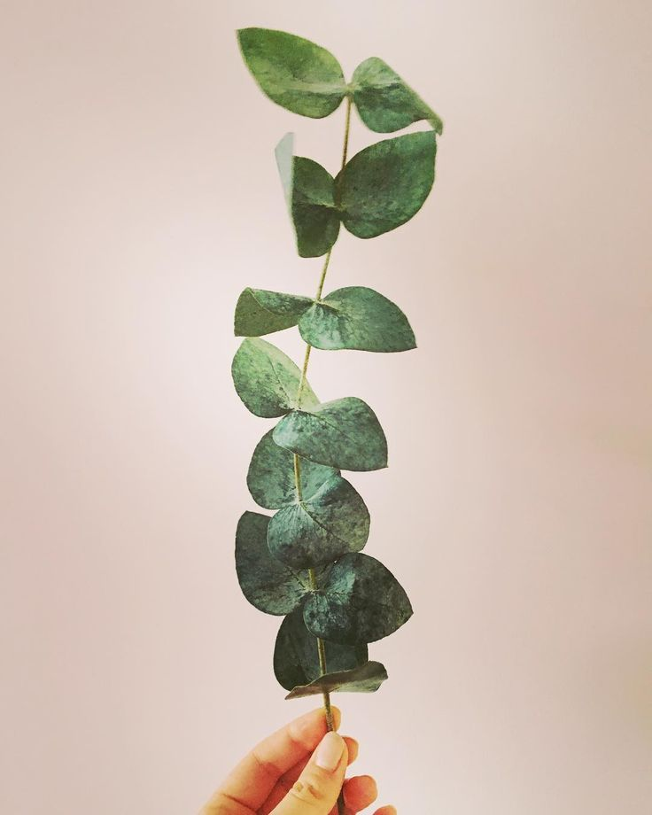 simplicity   #plants #plantslover #greenery #eucalyptus