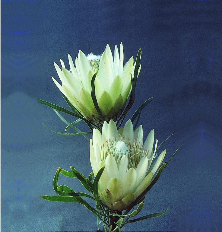 White repens protea