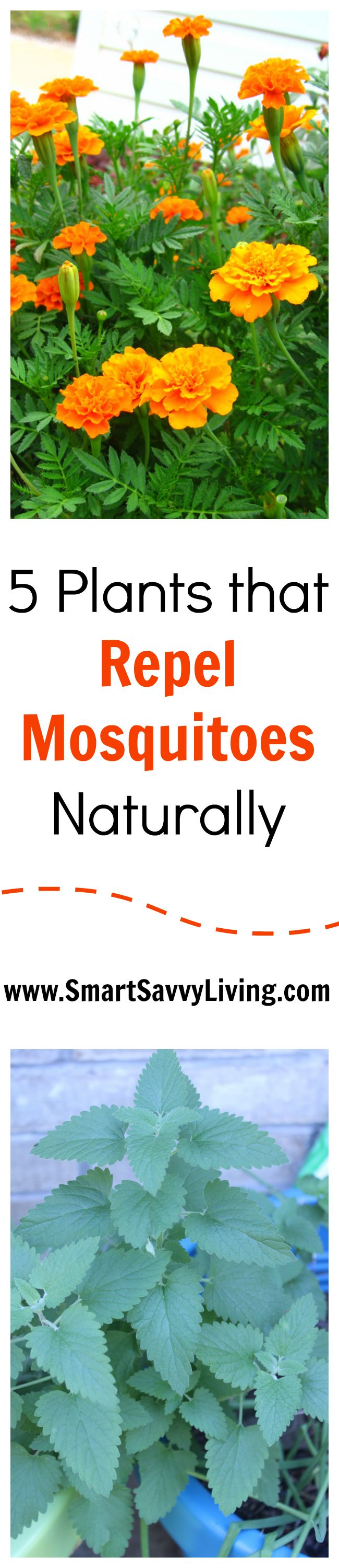 Love spending time in your yard during the summer but feel like you're a buffet for mosquitoes? See these 5 plants that help repel mosquitoes naturally!
