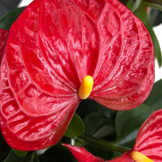 Anthurium Sierra A Gorgeous Houseplant Keith A Delicious Red Flowering Bract Garden Gardens Gardening Flower Flowers Ho Anthurium House Plants Flowers