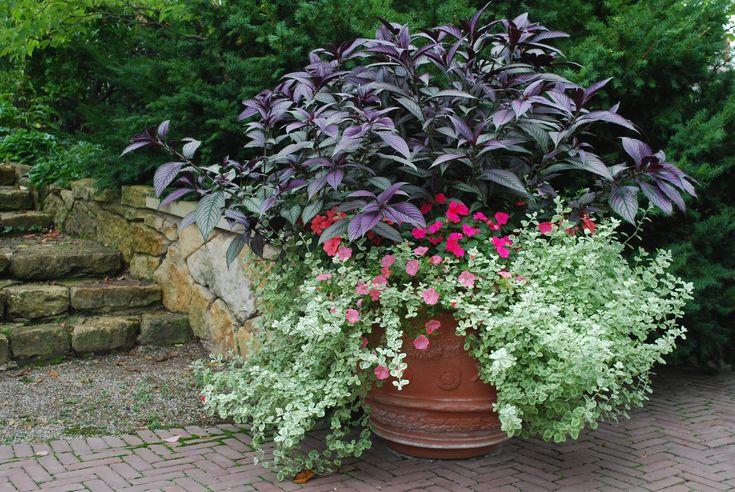 Persian Shield: Container Gardens, Peaches Petunias, Gardens Work, Gardens Container, Hot Pink, Deborah Silver, Detroit Gardens, Persian Shield,  Flowerpot