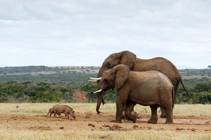 Big Brothers African Bush Elephants Big Brothers African Bush Elephants - The African bush elephant is the larger of the two species of African elephant. Both it and the African forest elephant have in the past been classified as a single species.