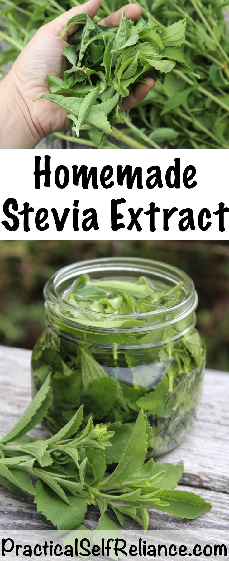 Growing Stevia How To Plant Grow And Harvest Stevia: How To Make Stevia Extract (Liquid Or Powder)