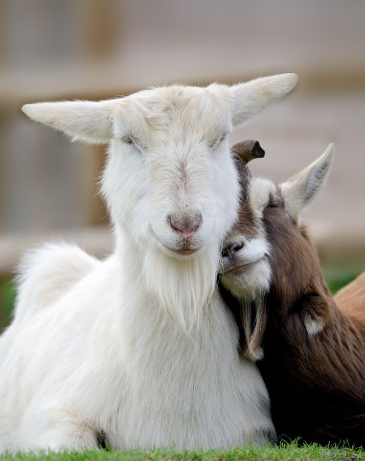 love you...Best Friends, Sweets, Goats Milk Soaps, Creatures, Simple Farms, Farms Animal, Sheep, Smile, Happy Goats