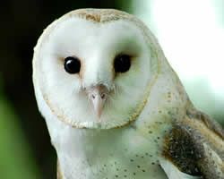 Barn Owl: Owl Conservation, Fascinators Owl, Nests Boxes, Attraction Barns, Barns Owl, Owl Boxes, Rodents Control, Owl Nests, Animal