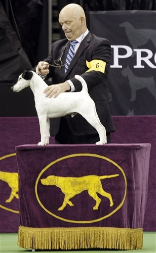 157 Best Images About Smooth Fox Terrier On Pinterest Westminster Dog Show Dog Show And