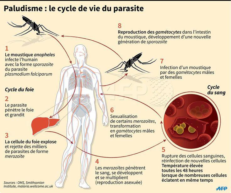 Paludisme : le cycle de vie du parasite