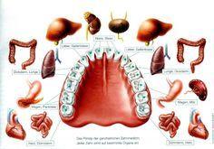 Zahn-Organ Schema (2)