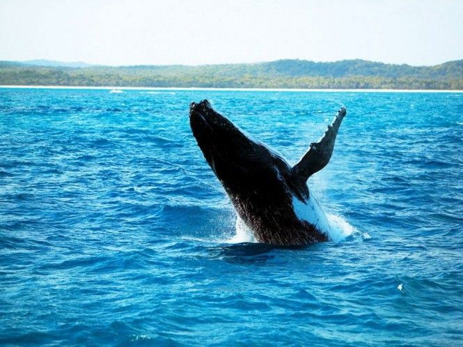 Whale watching on the beautiful Fraser Island.