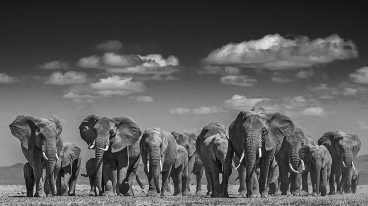 Elephants Uprising door David Yarrow - Te huur/te koop via Kunsthuizen.nl
