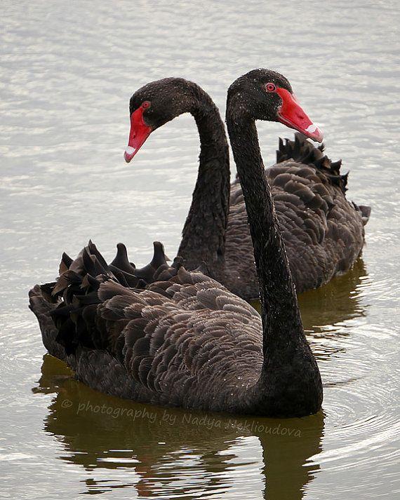 Black Swans photo print - Australian birds, fine art, romantic swan nature…