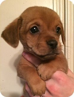 SOUTHINGTON, CT - Pug/Dachshund Mix. Meet Buttercup, a puppy for adoption. http://www.adoptapet.com/pet/17122513-southington-connecticut-pug-mix