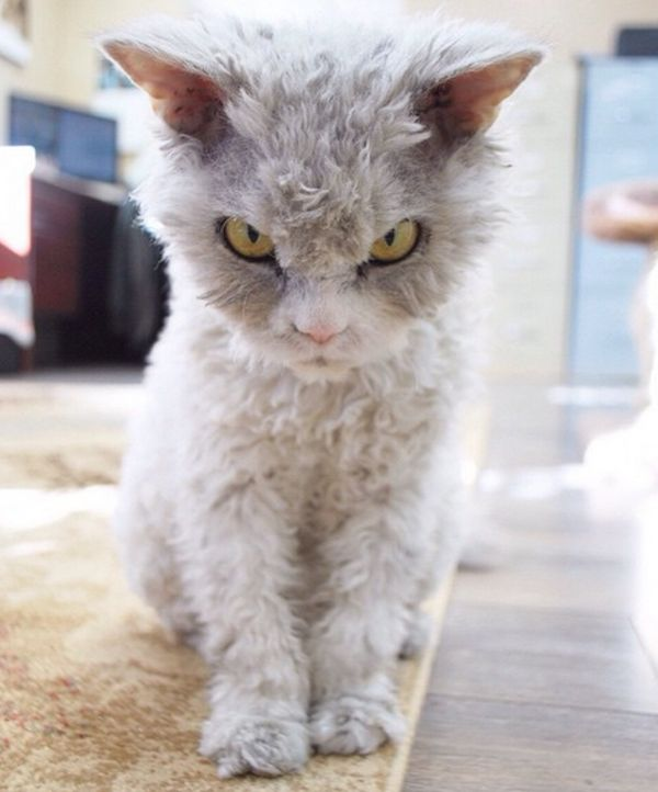 Meet Pompous Albert, the Cat With a Case of Resting Bitch Face