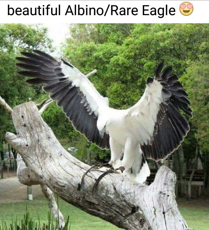 """""""Not an albino. It's a White-bellied Sea Eagle."""""""