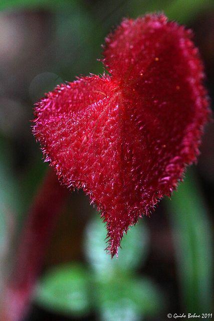 Javan Rhubarb - Heart leaf