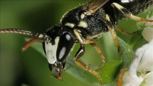 Urban Buzz: A New Bee That Sips SweatSweat Bees, Generation Buzz, Urban Buzz, Bees Generation, Sip Sweat, Native Sweat