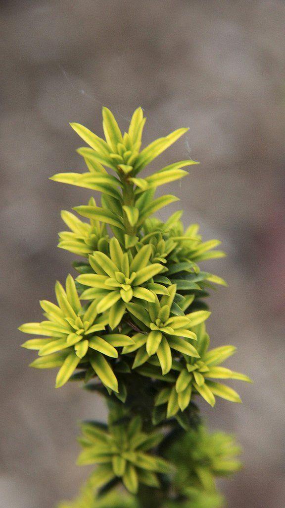 Taxus baccata 'Golden Dwarf'