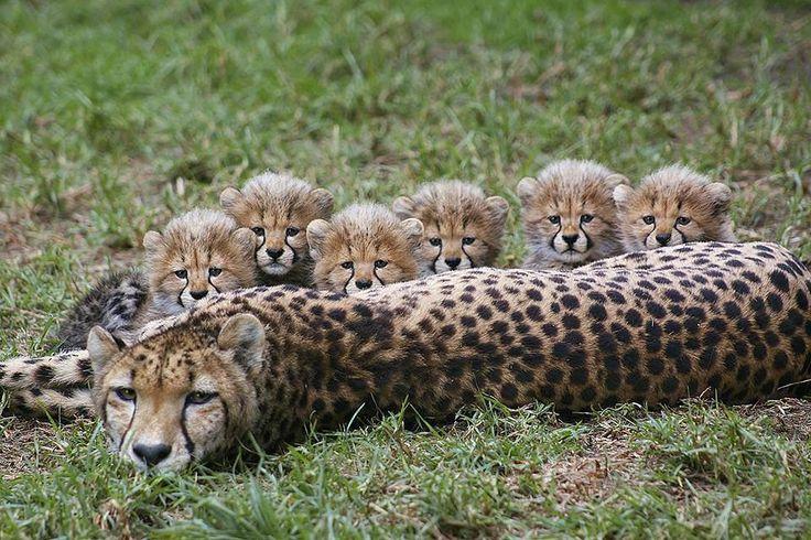 """Mom be like """"I'm done having babies"""" (via @sandiegozoo @sdzsafaripark) #9gag #cheetah #baby @9gagmobile by 9gag"""