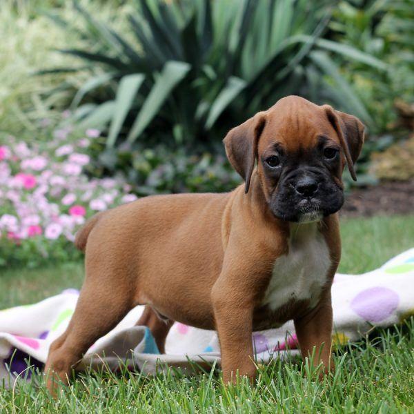 Boxer Puppies For Sale Miami Fl In 2020 Boxer Puppy Boxerhonden Honden