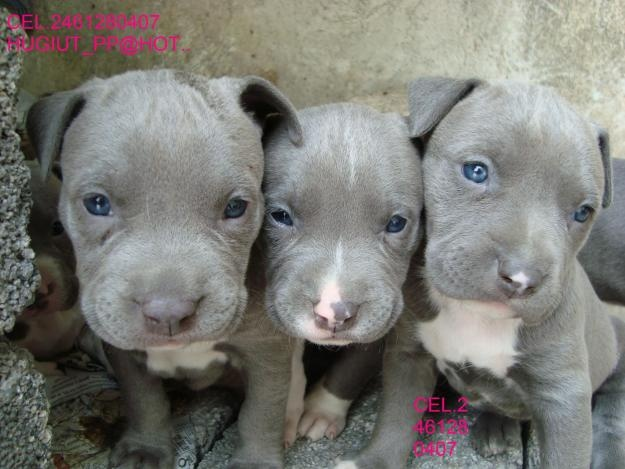 Homemade Dog Food For Pitbull Puppies