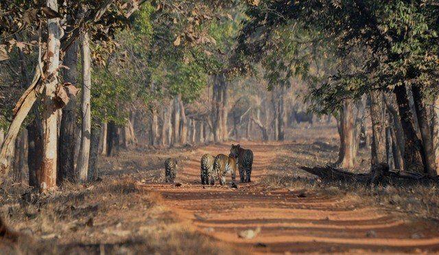 Typical Tadoba woodland scene, with added wildlife.  (c) Aditya Dhanwatey