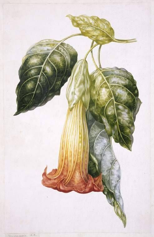 to love many things — A.I. Withers, Datura rosei (Thorn Apple), 19th...