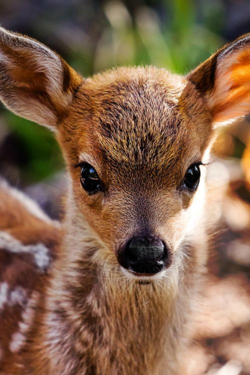 Sweet face of a dappled young fawn. (Rick Parchen, 500px)