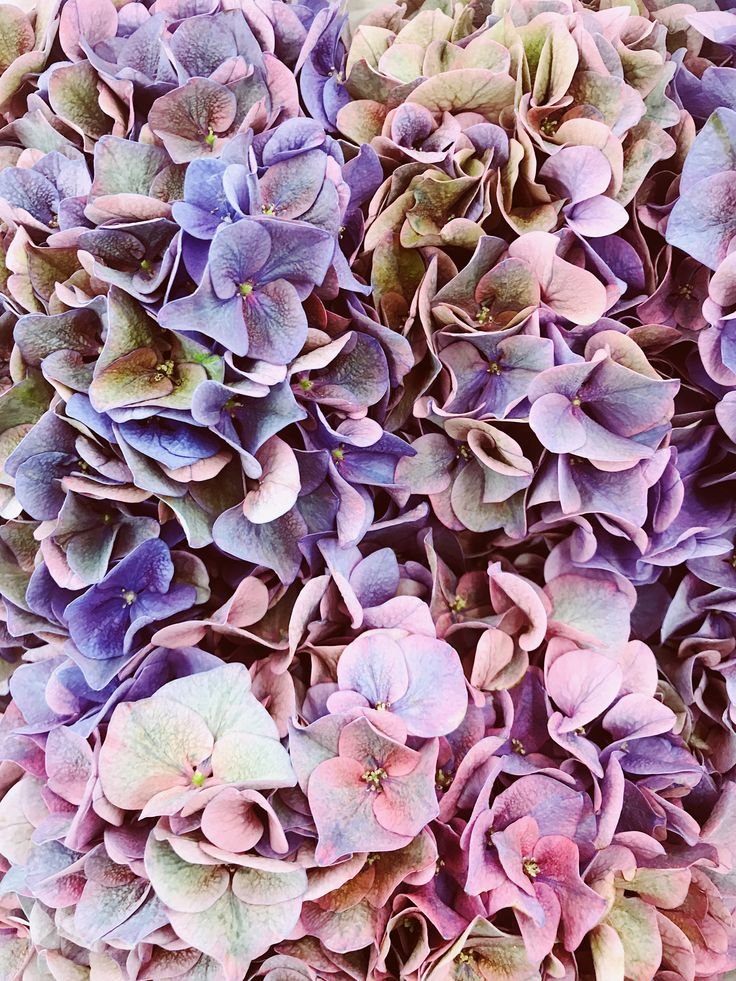 Purple hydrangea screensaver