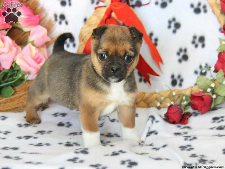 Mittens, Jug puppy for sale from Atglen, PA